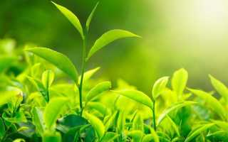Зеленый чай состав польза
