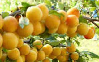 Варенье из желтой сливы без косточек